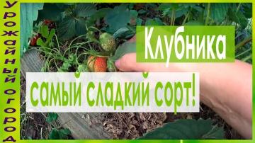 Урожайный огород ►МОЙ ЛЮБИМЫЙ СОРТ КЛУБНИКИ!!!САМЫЙ СЛАДКИЙ!!!