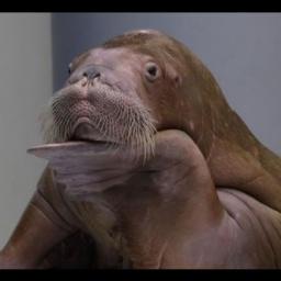 Дельфинарий в Анапе: Моржиха зажигает