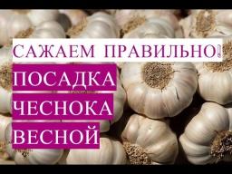 Юлия Минаева - Как Посадить Чеснок Правильно! Посадка Чеснока Весной.