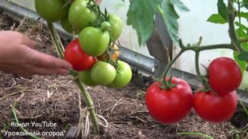 Урожайный огород ЛУЧШИЕ СОРТА ТОМАТОВ!ОБЗОР САМЫХ УРОЖАЙНЫХ ТОМАТОВ В ИЮЛЕ!