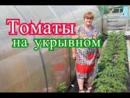 Юлия Минаева -  Томаты в открытом грунте. Сравниваем томаты на укрывном и замульчированные.