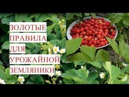 Юлия Минаева -  Золотые Правила для Урожайной Земляники. (03.06.17)