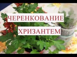 Юлия Минаева -  Черенкование хризантем. Этот способ отлично работает!