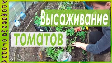 Урожайный огород ВЫСАДКА РАССАДЫ ТОМАТОВ В ГРУНТ