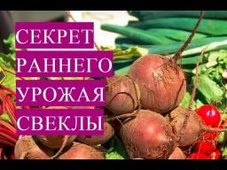 Юлия Минаева\Как Получить Очень Ранний Урожай Свеклы 22.04.2017