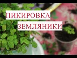 Юлия Минаева -  Пикировка Земляники. Правильная пикировка - залог урожая.