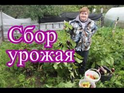 Юлия Минаева -  Урожай баклажанов и перца в открытом грунте. (28.09.16 г.)
