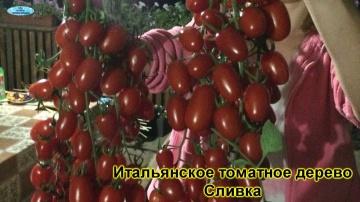 Обзор популярных сортов томатов которые выращивают у нас