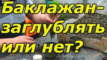 Сад Огород своими руками Рассада баклажан- заглублять или нет ?