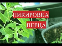 Юлия Минаева Пикировка Перца   Выращивание Перца без Пикировки 25.03.2017