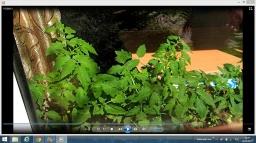 Ольга Уголок -  Высадка томатов в открытый грунт.Выращивание томатов в открытом грунте.