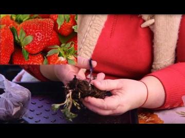 Юлия Миняева Выращивание Клубники | Не Бойтесь Сделать Это Сейчас