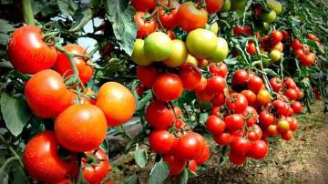 Урожайный огород НОВЫЙ УЛУЧШЕННЫЙ СПОСОБ ПОСЕВА ТОМАТОВ НА РАССАДУ