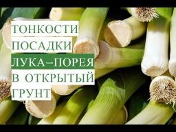 Юлия Минаева -  Лук-Порей в Открытом Грунте. Порей для Уплотнения Посадок. (03.06.17)