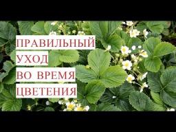 Юлия Минаева -  Выращивание Клубники. Правильный Уход Во Время Цветения.(12.06.17)