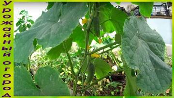 Урожайный огород ВЫРАЩИВАНИЕ ОГУРЦОВ В МЕШКАХ!ПЕРВЫЙ УРОЖАЙ И ФОРМИРОВКА!