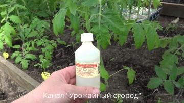 Урожайный огород НАШАТЫРНЫЙ СПИРТ -СУПЕР УДОБРЕНИЕ ДЛЯ ТОМАТОВ!