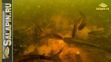 Поведение мелкой рыбы на прикормке Greenfishing (подводное видео) [salapinru]