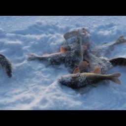 Рыбалка в Карелии 2016 г. Зимняя рыбалка - крупный окунь.