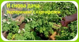 Ольга Уголок -  Дача. Маленький обзор на даче.Эксперимент с картофелем.
