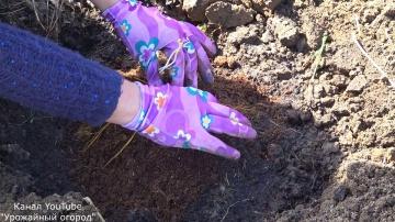 Способ посадки Клематиса | Урожайный Огород Татьяны 2018