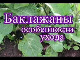 Юлия Минаева -  Баклажаны в открытом грунте. Особенности ухода. (20.07.16г.)