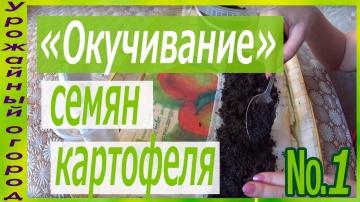 """ПЕРВОЕ """"ОКУЧИВАНИЕ"""" СЕМЯН КАРТОФЕЛЯ"""