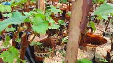 Саженец винограда из одной почки маленькая хитрость