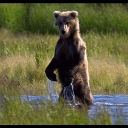 Аляска: Веселые медведи: Супер позитивчик