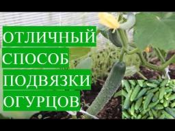 Юлия Минаева -  Выращивание Огурцов в Теплице. Отличный Способ Подвязки Огурцов.