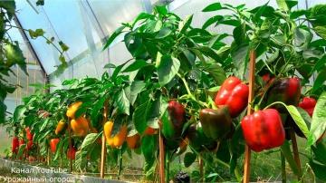 Урожайный огород Супер подкормка перца во время плодоношения