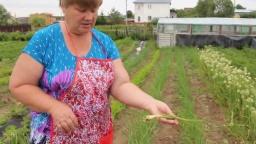 Юлия Минаева -  Желтеют перья у лука?! Что делать.