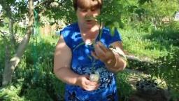 """Юлия Минаева - Помидоры. Помидоры """"в пеленке"""". Как подвязывать помидоры."""