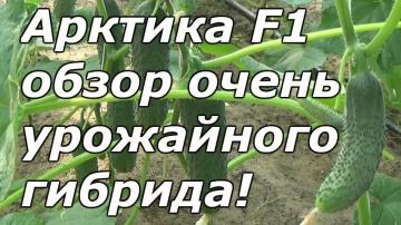 Сад Огород своими руками ОГУРЕЦ, КОТОРЫЙ ОБЯЗАТЕЛЬНО СТОИТ ВЫРАЩИВАТЬ!!!