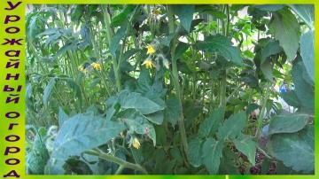Урожайный огород РЕЗУЛЬТАТ БЕЗРАССАДНОГО СПОСОБА ВЫРАЩИВАНИЯ ТОМАТОВ!