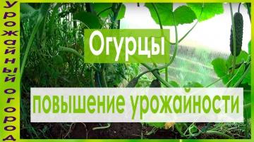 Урожайный огород КАК УВЕЛИЧИТЬ УРОЖАЙ ОГУРЦОВ!!!СУПЕР СПОСОБ!!!