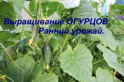 Юлия Минаева -  Выращивание огурцов. Ранний урожай.