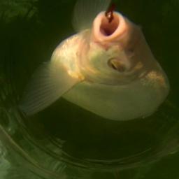 Подлещик под водой в солнечное затмение (подводное видео) [salapinru]