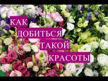 Эустома Как Правильно Посеять\Юлия Минаева