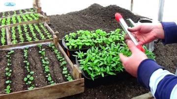 Сад Огород своими руками ПЕРЕЦ И БАКЛАЖАНЫ - ПИКИРУЕМ ВОВРЕМЯ! Как вырастить качественную рассаду?