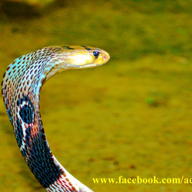 Королевская индийская кобра