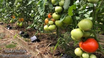 Урожайный огород УСПЕЙТЕ СДЕЛАТЬ ЭТО С ТОМАТАМИ В ИЮЛЕ!!!