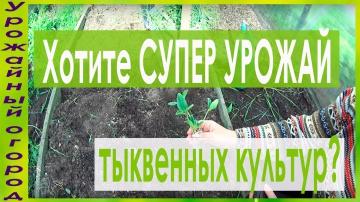 Урожайный способ выращивания кабачков,тыкв и патиссонов