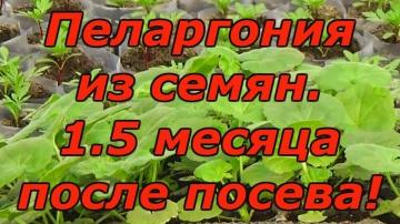Сад Огород своими руками ПЕЛАРГОНИЯ (ГЕРАНЬ) через 1.5 месяца после посева. Как вырастить красивую п