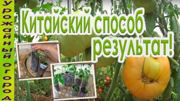 Урожайный огород ►КИТАЙСКИЙ СПОСОБ ВЫРАЩИВАНИЯ ТОМАТОВ!!!РЕЗУЛЬТАТ ЕСТЬ!!!