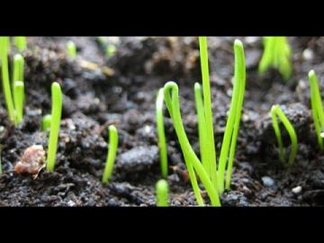 Урожайный огород СУПЕР СПОСОБ!ПОСЕВ ЛУКА С ПЕРЕКИСЬЮ ВОДОРОДА!