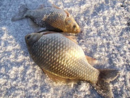Зимняя рыбалка на карася на мормышку Секреты ловля крупного карася Видео