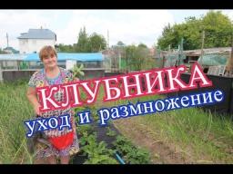 Юлия Минаева -  Клубника. Что делать с усами. Заготовка посадочного материала.(15.06.16 г.)