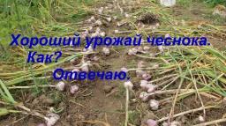Юлия Минаева -  Хороший урожай чеснока Как? Отвечаю