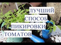 Юлия Минаева Пикировка Томатов Что Делать Если Вытянулась Рассада Томатов.